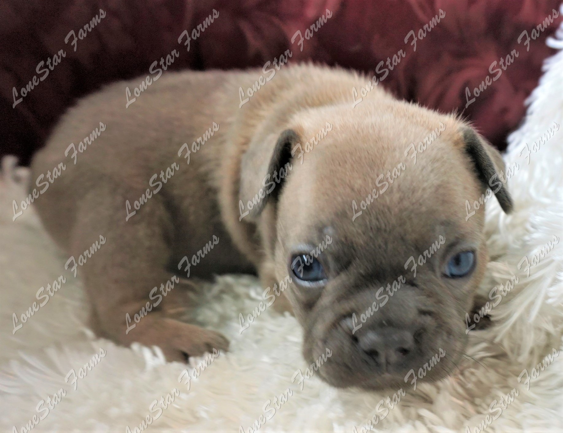 Lilac French Bulldog Puppy For Sale Handsome Male Puppy